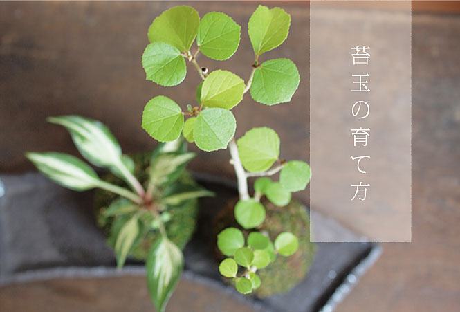 苔玉の育て方